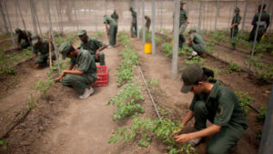 In this March 8, 2016 photo, Bolivarian Army soldiers tend to tomato plants at a military base near Maracay, Venezuela, as part of their Great Mission of Sovereign Supply, headed by Defense Minister Vladimir Padrino, who will coordinate the work of every ministry.